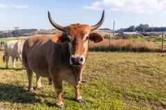 Animals Cattle Closeup Farming Landscape Stock Photo