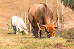 Animals Cattle Eating Closeup Farming Royalty Free Stock Images
