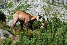 Animals - chamois in the mountains Stock Image