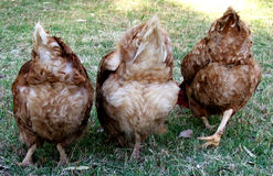 Animals - chickens. Three cute chicken bums stock photos