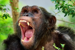 Animals chimpanzee Stock Photography