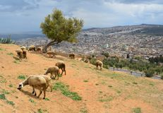 Animals in a city of Fes royalty free stock image