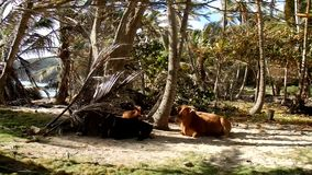 Animals in a coconut grove by the sea. A bull, cow and calf relaxing under palm trees by the seashore in the windward islands stock video