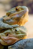 Couple of bearded dragons Stock Image
