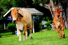 Animals. The cow animal in Thailand, its a Mammalia Royalty Free Stock Photo