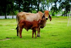 Animals. The cow animal in Thailand, its a Mammalia Royalty Free Stock Photos