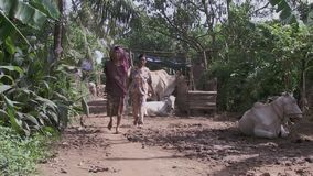 Animals,  cows, farm , women , cambodia, southeast asia. Southeast asia , Cambodia, Koh pene island, october 2013. two  women walking with cows lying  on the mud stock video footage