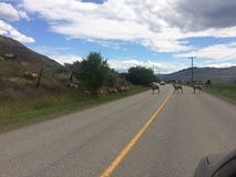 Animals crossing the road. Wildlife blocking the highway Stock Images