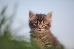 Animals. Cute gray kitten in the grass stock image
