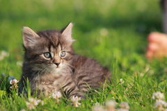Animals. Cute gray kitten in the grass stock photo