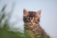 Animals. Cute gray kitten in the grass royalty free stock images