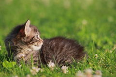 Animals. Cute gray kitten in the grass royalty free stock photos