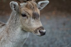 Deer branched horns Олень лань royalty free stock photo