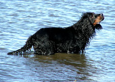 Animals - dog. A dog goes swimming in a river royalty free stock photo