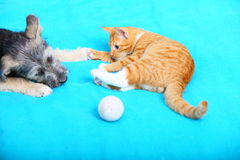 Animals dog and cat playing at home Royalty Free Stock Image