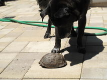 Animals: Dog playing with a turtle Stock Image