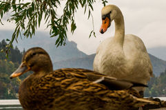 Animals. Duck and swan on lake Bled in Slovenia Royalty Free Stock Photos