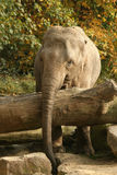 Animals: Elephant behind tree Stock Images