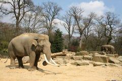 Animals: Elephant on savanne Royalty Free Stock Photography