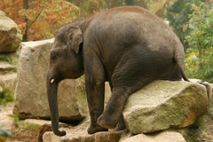 Animals: Elephant sitting on a rock Stock Photos