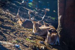 the animals enjoy the last autumn rays of the sun, deer with large horns lay on the grass in the forest royalty free stock photography