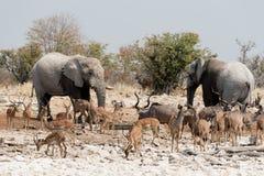 Animals of Etosha Royalty Free Stock Photo