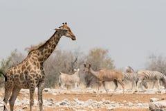 Animals of Etosha Royalty Free Stock Image