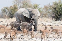 Animals of Etosha Royalty Free Stock Images