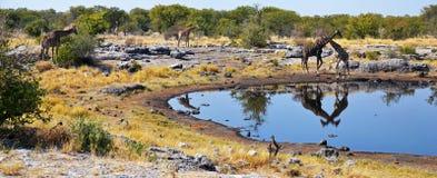 Animals in Etosha National Park. Etosha National Park is a national park in northwestern Namibia Royalty Free Stock Photo