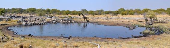 Animals in Etosha National Park. Etosha National Park is a national park in northwestern Namibia Royalty Free Stock Photography