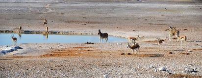 Animals in Etosha National Park. Etosha National Park is a national park in northwestern Namibia Royalty Free Stock Photos