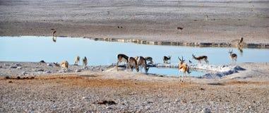 Animals in Etosha National Park. Etosha National Park is a national park in northwestern Namibia Stock Image