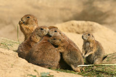 Free Animals: Family Of Prairie Dogs Stock Photography - 6478432