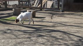 Animals in a farm. Goat stock video footage
