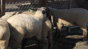 Animals in a farm. Sheep stock video footage