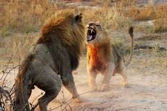 Animals Fighting , just vist wild life Royalty Free Stock Photography