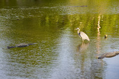 Animals in Florida swamp Stock Photos