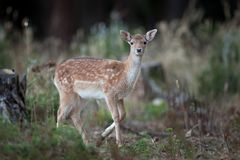 Fallow deer, dama dama. Animals in forest. Wildlife in forest. Bohemia nature. Walking in nature. Animals life. Fallow deer in forest stock images
