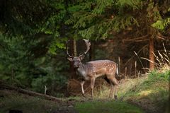 Fallow deer, dama dama. Animals in forest. Wildlife in forest. Bohemia nature. Walking in nature. Animals life. Fallow deer in forest stock photo