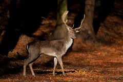 Fallow deer, dama dama. Animals in forest. Wildlife in forest. Bohemia nature. Walking in nature. Animals life. Fallow deer in forest royalty free stock photo