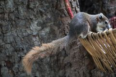 Squirrel seek for food in the Wicker baskets on the tree. Animals Found in Tropical Regions. Squirrel seek for food in the Wicker baskets on the tree royalty free stock photo
