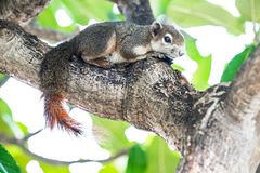 Squirrel on the tree. Animals Found in Tropical Regions. Squirrel on the tree stock images