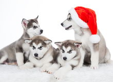 Animals. Four puppy Husky white isolated, Christmas hat!. Wonderful four happy puppy Husky, has red Christmas hat. New Year holiday card. Little Santa Claus Royalty Free Stock Photography
