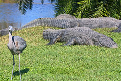 Alligators and a bird Royalty Free Stock Image