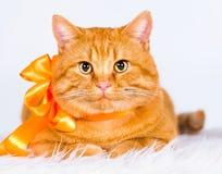 Animals. Ginger cat white isolated, orange ribbon! Royalty Free Stock Photo