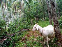 Animals goat royalty free stock photo