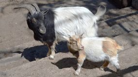 Animals goat and young goat with head turn back. Wild goat royalty free stock photography