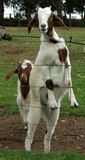 Animals - goats. Goats jump up on fence royalty free stock photography
