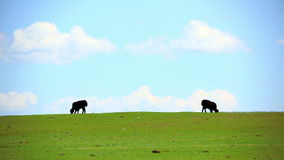 Animals grazing on grassland, mongolia Stock Images