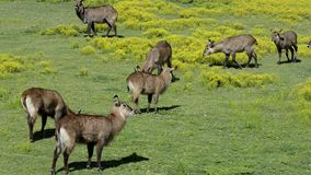 Animals grazing stock video footage